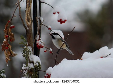 Sweet closeup of a little chickadee clinging to a branch with snow covered bittersweet berries and evergreen boughs surrounding it.