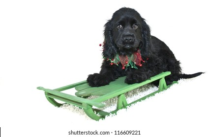 Sweet Cocker Spaniel Puppy on a sled with Christmas colors, on a white background.
