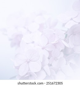 sweet color hydrangeas in soft and blur style for background