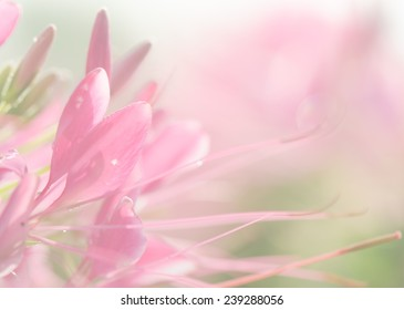 Sweet color, soft background of beautiful pink flower.