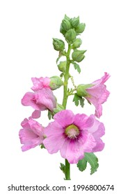 Sweet colorful pink hollyhock blooming and green bud flowers isolated on white background with copy space and clipping path.