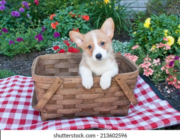 Sweet Corgi puppy sitting in a picnic basket outside with flowers all around her.
