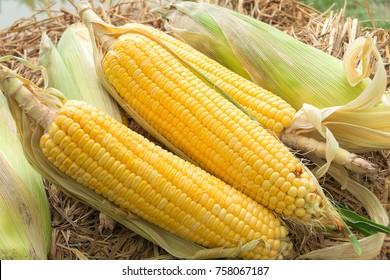 Sweet corn cobs on straw