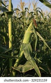 Sweet corn field.