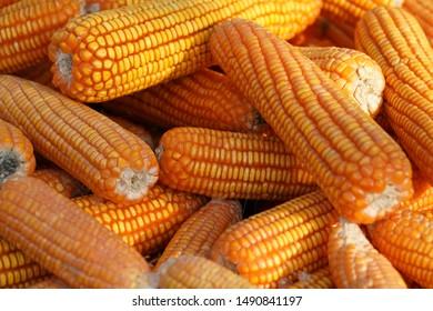 sweet corn at the market, yellow corn