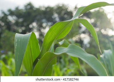 Sweet corn plant growing to maturity