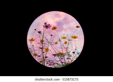 Sweet cosmos flower in full moon sky blurred background