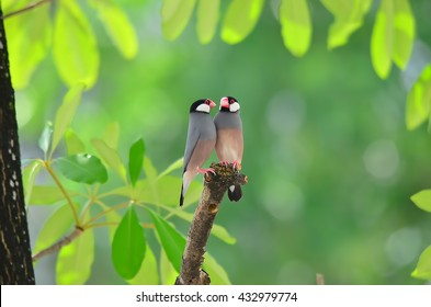 Sweet couple (Java Sparrow) on a branch