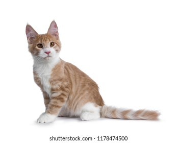 Sweet creme with white Maine Coon cat kitten sitting side ways and tail behind body looking up, isolated on a white background