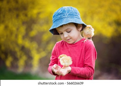 Sweet cute child, preschool boy, playing with little newborn chicks in the park, springtime