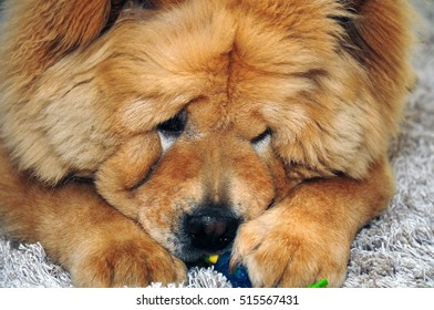 A sweet cute Chow Chow dog playing with a toy