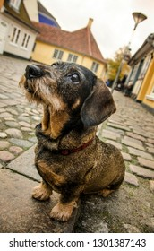 Sweet Dachshund sitting in the old streets in Hans Christian Andersens quater in Denmark