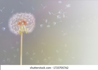 sweet and delicate image of a dandelion flower caressed by wind