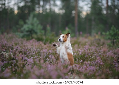 sweet dog in heather colors. walk with a pet in the forest. Jack Russell Terrier lilac colors