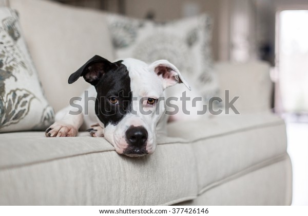 Sweet dog lays on the couch