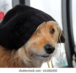 Sweet dog profile with a wooly black hat going up in gondola lift skiing