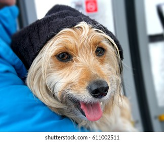 Sweet dog profile with a wooly black hat going up in a gondola lift skiing