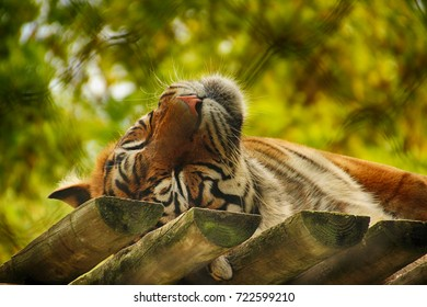 Sweet dream. Sleeping tiger