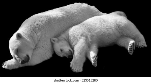 Sweet dreams of polar bear family, isolated on black background. Sleeping white bear mother and her cub. Black and white image.
