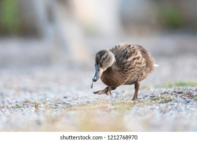 Sweet duck isolated