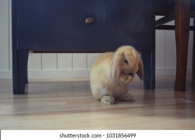 sweet dwarf rabbit
