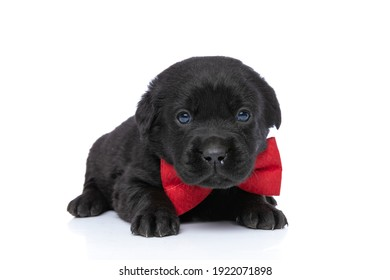 sweet elegant labrador retriever puppy wearing red bowtie and laying down on white background in studio