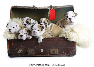 Sweet English bulldog dog puppies in an old suitcase