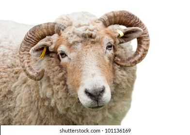 sweet expression on a sheep with horns (isolated on white background)