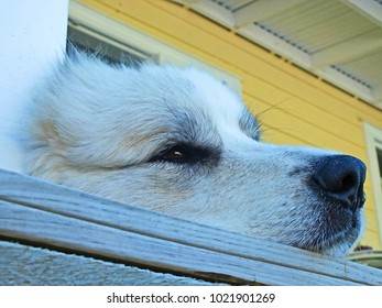 Sweet female Great Pyrenees dog dozing on verandah
