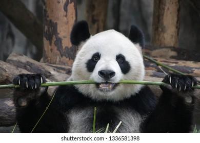 Sweet Fluffy Face of Happy Female Panda name Gong Zhu, Shnaghai, China