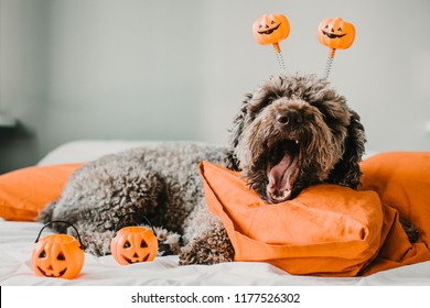 Sweet and friendly brown spanish water dog playing in the bed of his owner with halloween costume. Funny moments dogfriendly. Lifestyle