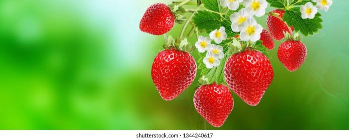 sweet garden red strawberry
