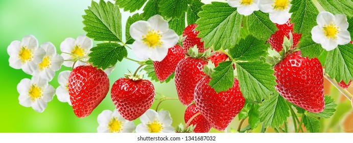 Sweet garden strawberry