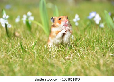 sweet golden hamster that shows the tongue and is against the background of a beautiful spring