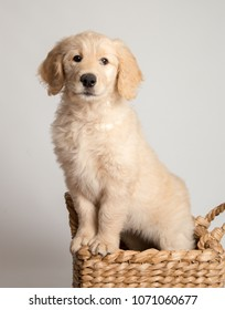 Sweet goldendoodle puppy in basket