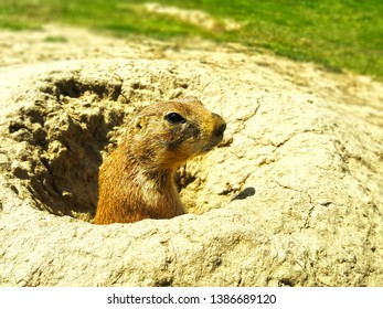 Sweet Gopher in his hole burrow