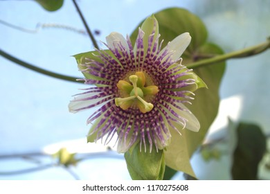 sweet granadilla flower