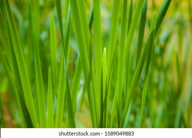 Sweet grass or sweetgrass . Plant Hierochloe odorata from northern North America and Eurasia;growing in Karst pond Slovenia