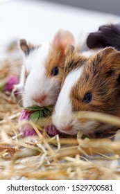 Sweet Guinea pig with sister.