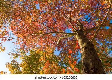 Sweet Gum Trees Images Stock Photos Vectors Shutterstock
