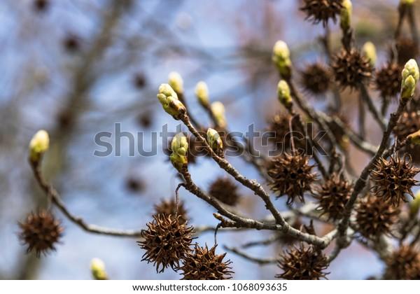 Sweet Gum Tree Budding