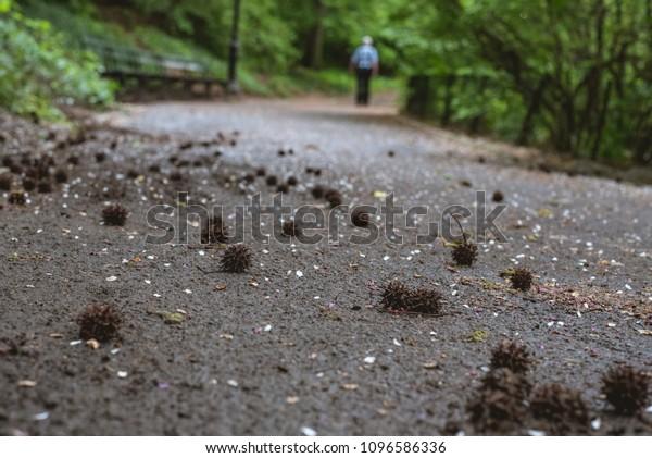 Sweet Gum Tree Seed Balls Stock Photo (Edit Now) 1096586336
