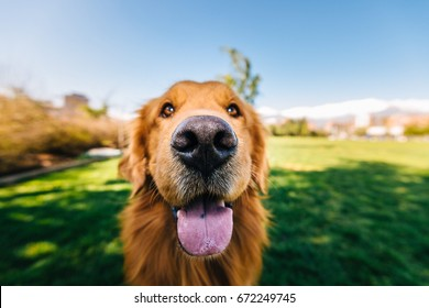 A sweet happy golden retriever with a big nose