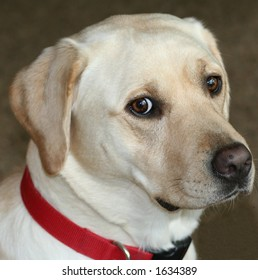 Sweet head-shot of Yellow Lab
