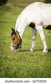 A sweet  horse is eating grass