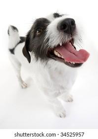 Sweet Jack Russel terrier