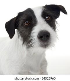 Sweet Jack Russel terrier portrait