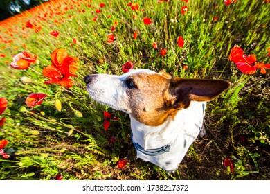 Der süße Knacksalon steht in einem Feld von roten Mohn, die Pflanzen und Blumen riechen