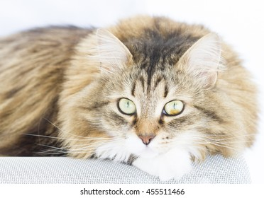 Sweet kitten on the chair,brown with white color