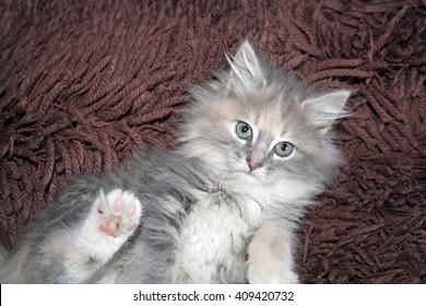 sweet kitten playing